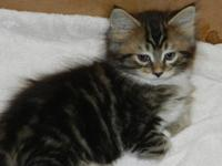 Maine Coon Kittens. CFA signed up. House raised. Maine