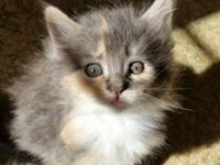 Lovely full blooded  Maine Coon kitties 1