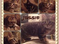 Jessie is a 9 week old female, Maine Coon kitten. Her