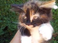 Fluffy Mainecoon kitten, shots/wormed/deflead will go