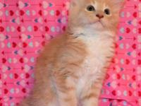 Maine Coon Kitten Big male Cream DOB 5/10/15 The