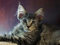 Maine Coon Kitten. CFA, $1000, Female, Brown Mackerel.