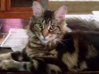 We have an eleven month old female brown classic tabby.