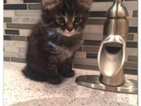 I have 3 gorgeous Maine Coon kittens that are