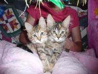 Beautiful kittens available. There are six male kittens