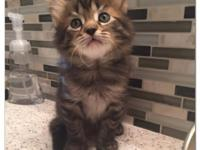 I have 5 gorgeous Maine Coon kittens that are