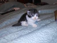 Maine Coon Kittens, 3 weeks old, CFA registered,