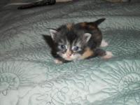 Maine Coon Kittens, 5 weeks old, CFA registered,