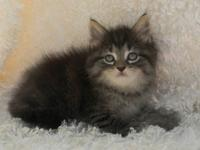 We have Maine Coon kittens available. Sweet kittens