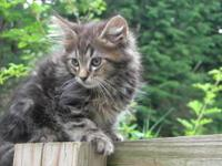 Pure bred Maine Coon kittens available. These cuties
