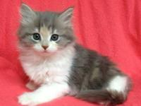 Beautiful Maine Coon kittens available, $450 each. Up