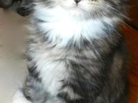 Maine Coon Kittens. CFA. Home raised. Maine coons are