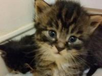Gorgeous full blooded Maine Coon kittens 3 Females 1