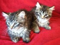 10 week old maincoon  kittens ready for