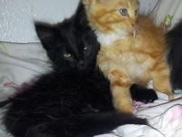 Large Mainecoon kittens, 2 girls with copper and green