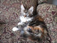 Registerd Maine Coon kitties for sale. Some are