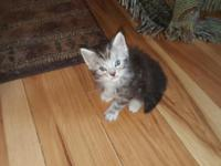 Kittens raised under foot with dogs. Handled daily,