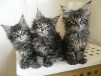 maine coons call anytime / same day delivery. first