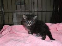 Maine Coon - Kittens - Medium - Baby - Female - Cat
