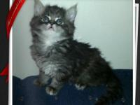 I have 2 litters of Maine Coon kitties, they will be