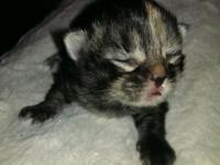 I have a litter of pure breed Maine coon kittens, born