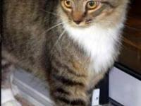 Maine Coon - Layla - Medium - Adult - Female - Cat