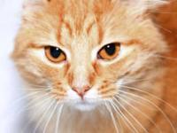 redbone coon hound for sale in Virginia Classifieds & Buy