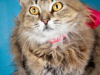 Maine Coon - Linko - Small - Adult - Female - Cat Linko