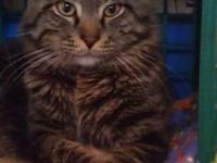 Maine Coon - Linus - Large - Young - Male - Cat It's