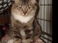 Maine Coon - Little Lynx - Medium - Baby - Female -