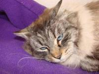 Maine Coon - Lobos - Large - Adult - Male - Cat I have