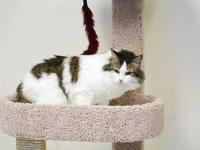 Maine Coon - Lola - Medium - Young - Female - Cat