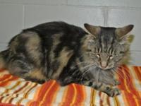 Maine Coon - Maddy - Large - Adult - Female - Cat Hi,