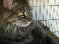 Maine Coon - Martha - Reduced Adoption Fee - Large -