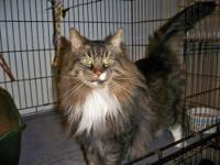Maine Coon - Max - Extra Large - Adult - Male - Cat IF