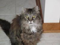 Maine Coon - Michele - Medium - Adult - Female - Cat