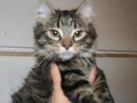 Maine Coon - Mikey - Small - Adult - Male - Cat Mikey