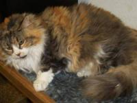 Maine Coon - Millie ~one Huge & Very Loving Girl!!~ I