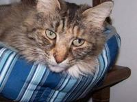 Maine Coon - Missy - Medium - Adult - Female - Cat