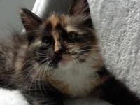 Beautiful, healthy active Maine Coon mix kittens.