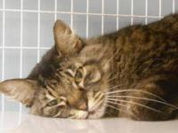 Maine Coon - Mr.larry - Small - Senior - Male - Cat