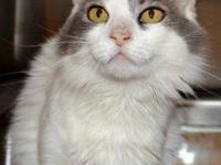 Maine Coon - Nadine - Large - Adult - Female - Cat