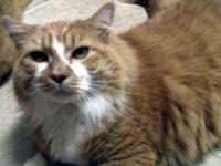 Maine Coon - Norton - Extra Large - Adult - Male - Cat