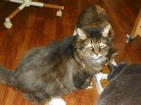 Maine Coon - Opal - Large - Adult - Female - Cat Sweet