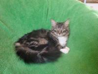 Maine Coon - Ozzy - Medium - Baby - Male - Cat Ozzy is