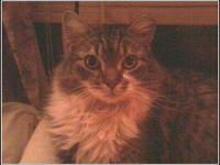 Maine Coon - P. Sherman - Large - Adult - Female - Cat