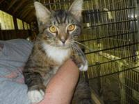 Maine Coon - Pandora - Large - Young - Female - Cat