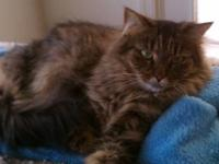 Maine Coon - Paris - Medium - Adult - Female - Cat