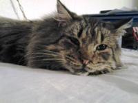 Maine Coon - Pecos - Medium - Adult - Male - Cat Great