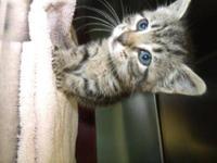 Maine Coon - Penelope - Medium - Baby - Female - Cat